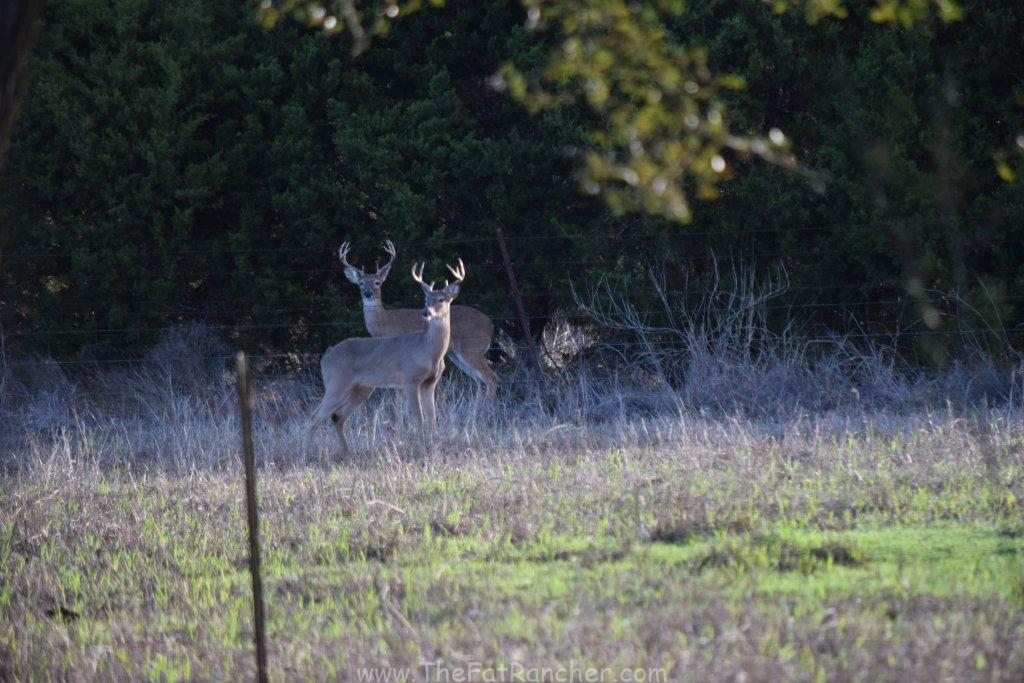White Tail deer on the alert.