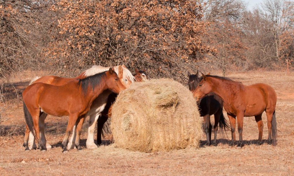 Photo of horses eating hay from a round bale.