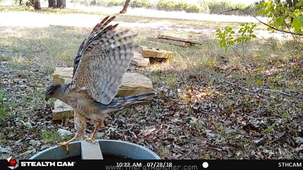Hawk at watering hole